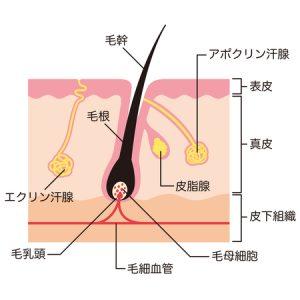 エポクリン汗腺