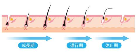 毛周期と成長期